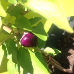 Picking Purple Peppers