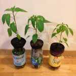 Growing Chillies Inside and Out
