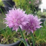 Why You Should Be Growing Chives