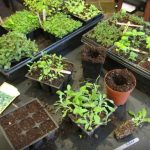 How to Grow Herbs from Seeds?