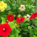 How to Fertilize Hibiscus Plants?