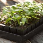 How to Plant Seeds in Seed Trays?