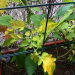 Why Are the Leaves On My Tomato Plants Turning Yellow